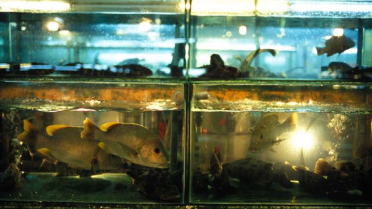 Fish swim in a tank at a Chinese restaurant in Kota Kinabalu.