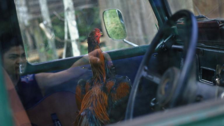 A fighting cock sits tethered to the steering wheel of a car in Kampung Tiga, Bundu. Many of the village children were interested in the rooster and peered through the car windows to take a closer look.
