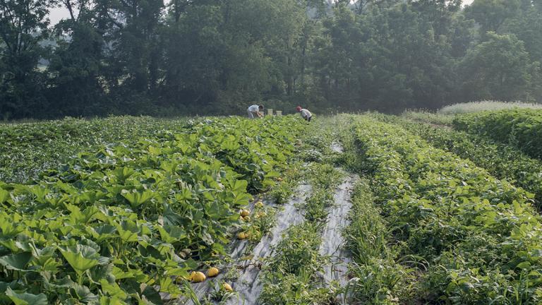 Harvesting squashes, Flying Cloud Farm. June 2005. Photo by Ken Abbott.