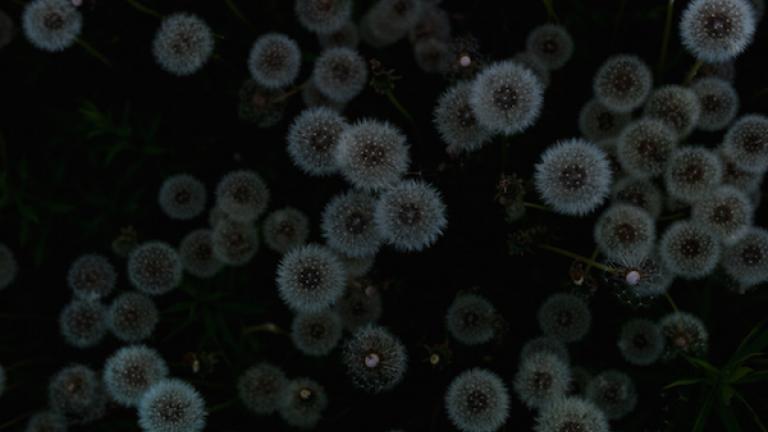"Dandelion achenes, June 2014. From ""Post Mégantic"" by Michel Huneault, winner of the 2015 Lange-Taylor Prize."