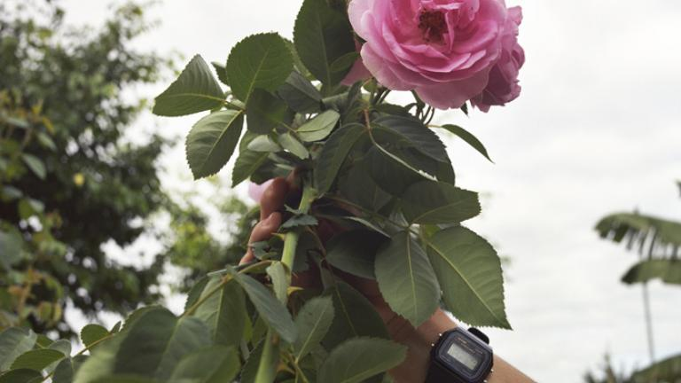 Dear Father, Our roses are so big this year. Have you ever seen them this way?--Giana