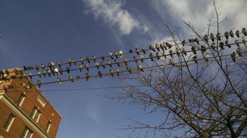 Rock pigeons (Columba livia), Astoria, Queens, spring 2015